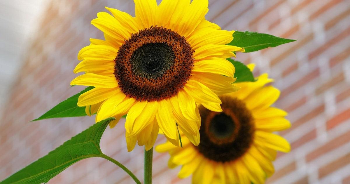 Yellow Sunflower Macro Photography